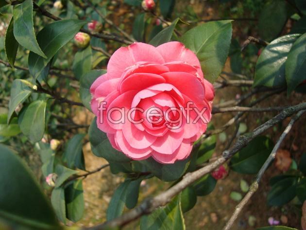 Yunnan Camellia tree picture