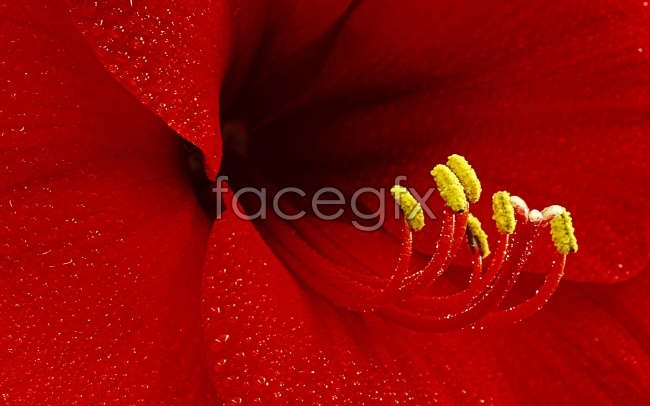 Bright red lilies pictures