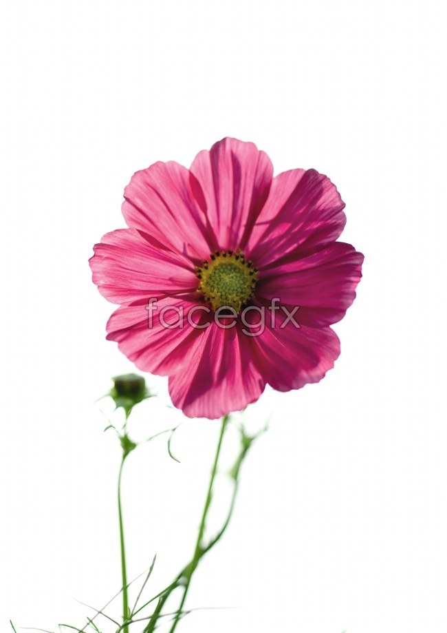 Gesang flower fresh for spring flowers pictures