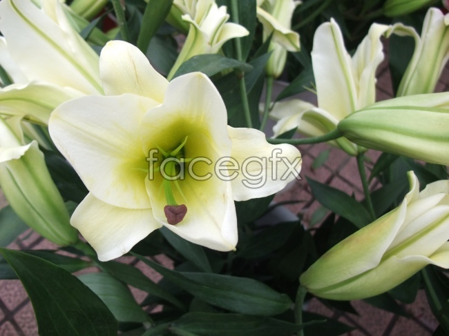 White lily flower picture