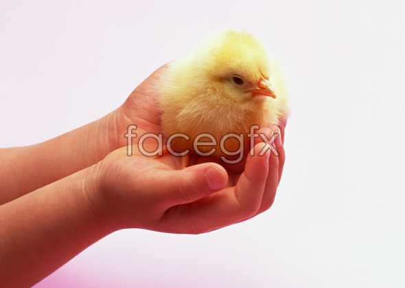 Chick pictures