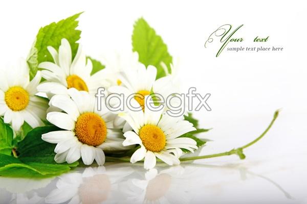 Chrysanthemum card HD picture