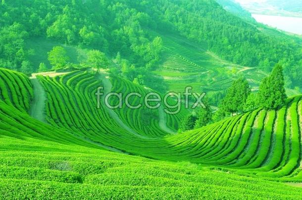 HD green tea-picture