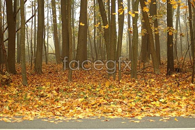 Maple Leaf desktop wallpaper