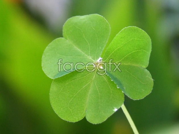 Clover background pictures