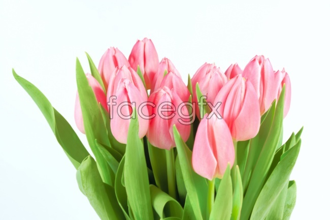 Netherlands Pink Tulip picture