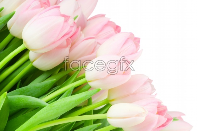Pink Tulip picture HD