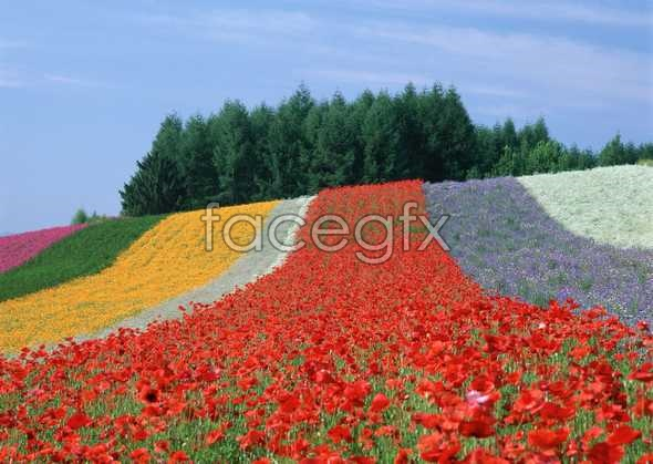Thousand flower 73