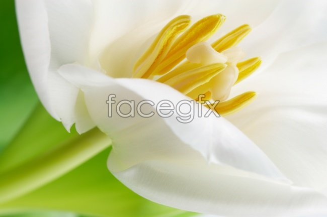 White Tulip flower pictures