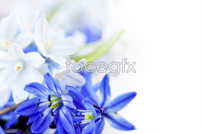 Blue flower picture material