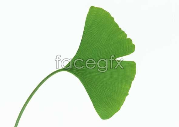 Fan-shaped leaves pictures