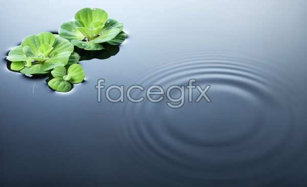 HD Lotus pond Lotus Leaf pictures