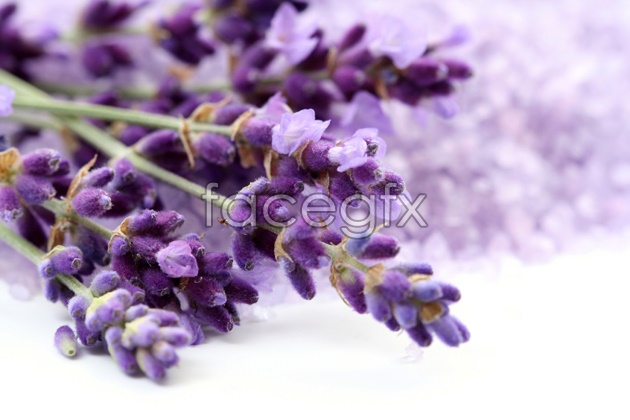 Lavender pictures HD