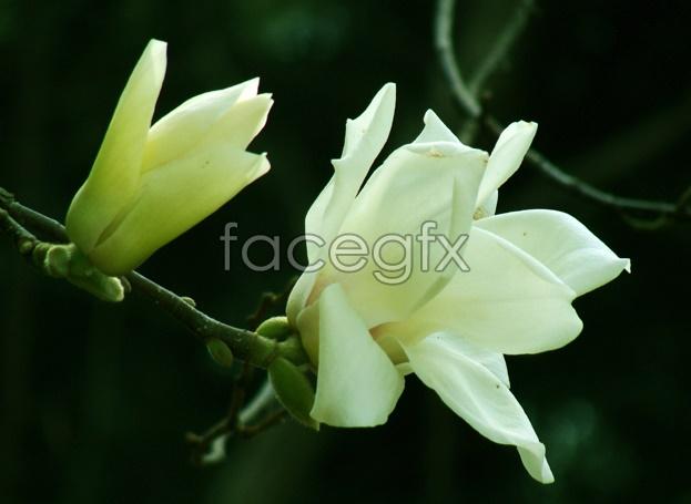 Magnolia flower picture