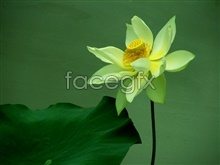 Yellow water lily pictures
