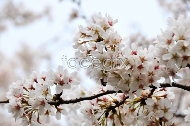 White cherry blossom pictures