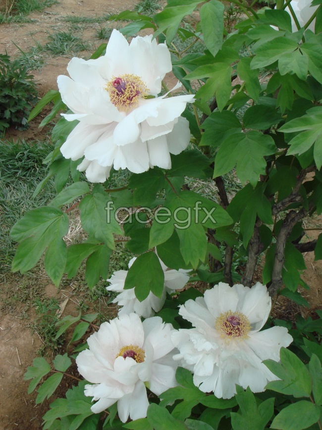 White Peony flower picture