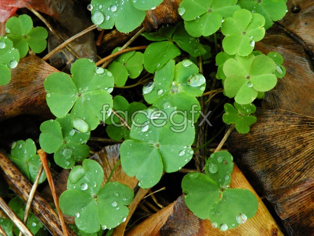 Fresh clover pictures