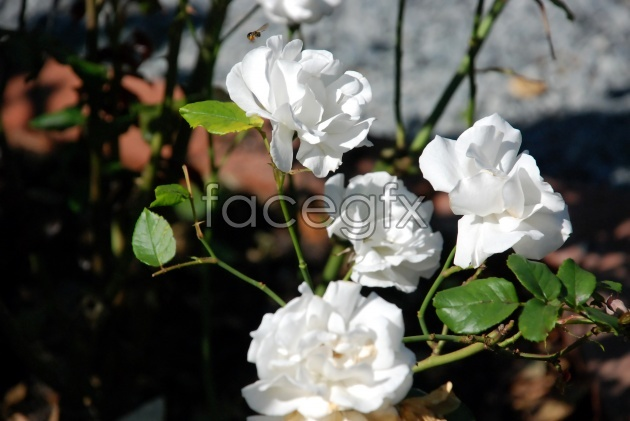 HD white roses pictures