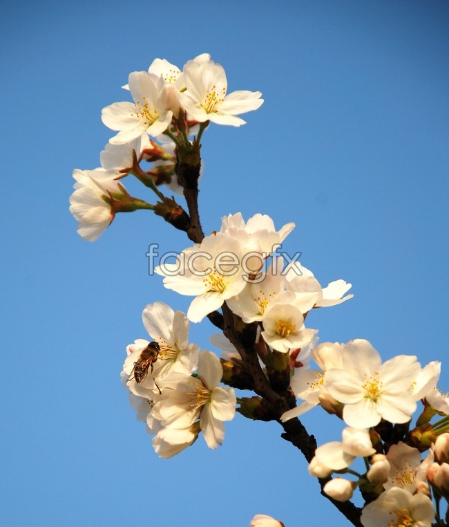 Japan cherry blossoms high definition pictures