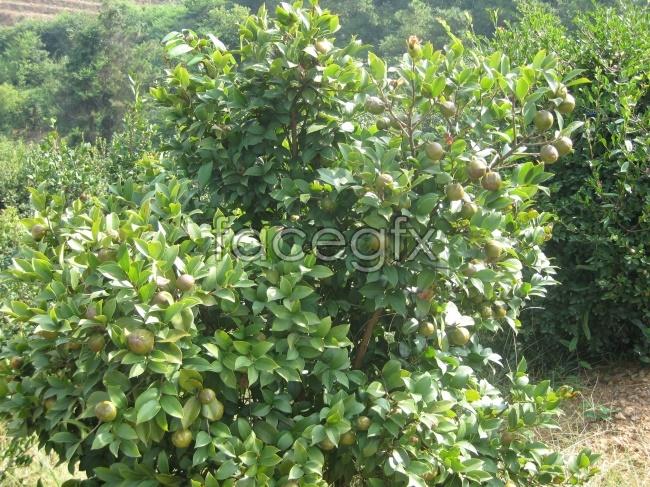 Tea tree pictures