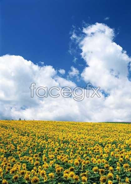 Thousand flower 626