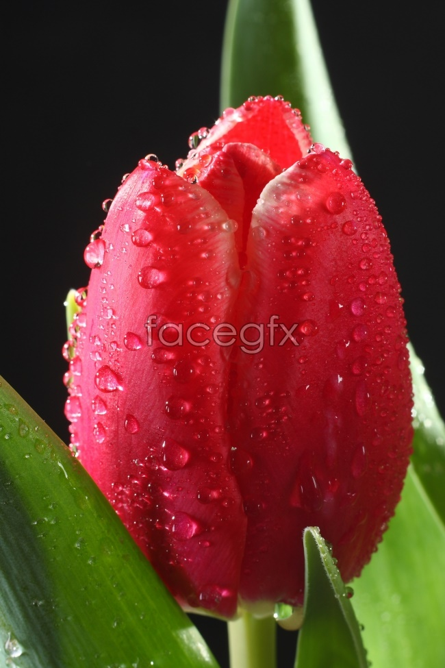 Bright red Tulip picture