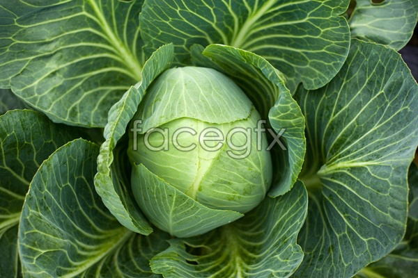 Green cabbage and HD picture