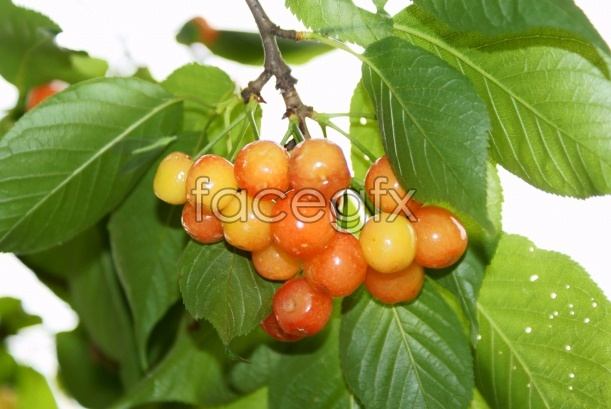 HD cherry tree pictures
