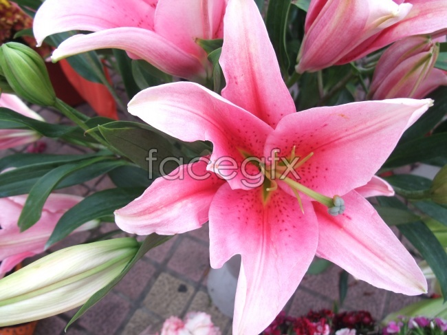 Red lily flower picture