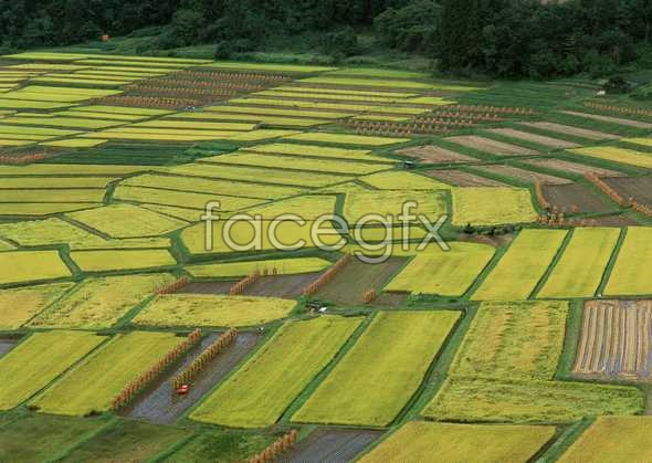 Rice fields pictures