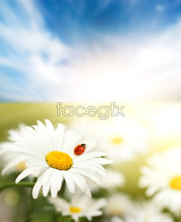 Sunflower and lady beetle pictures