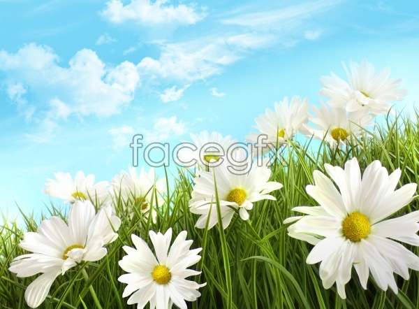HD lawn Daisy pictures