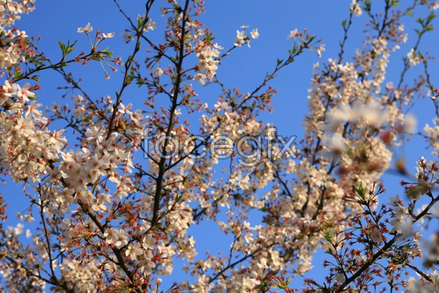 Peach flowers material picture