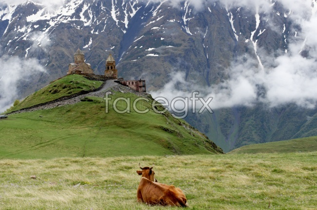 Highland cattle on the picture