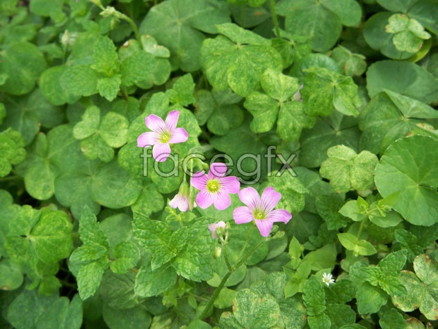 Oxalis HD picture