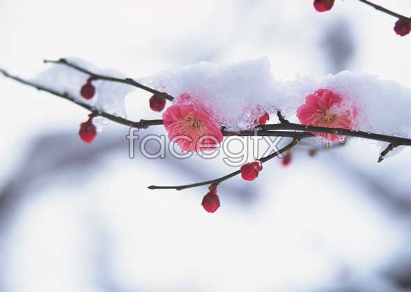 Plum blossom in the winter snow picture