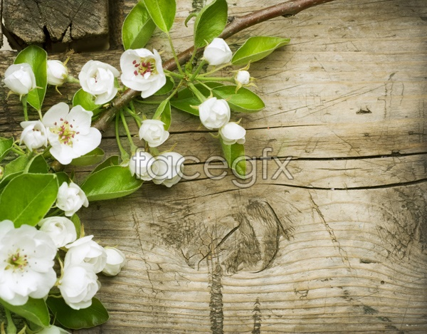HD white Camellia pictures