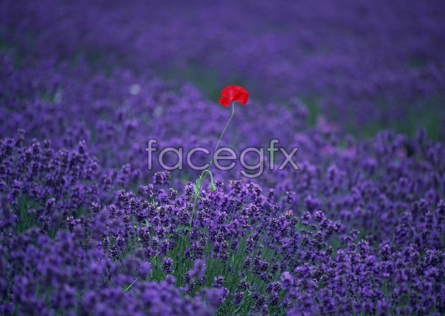 Provence Lavender pictures