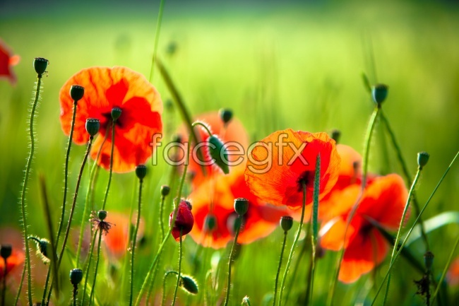 Red poppy flower picture