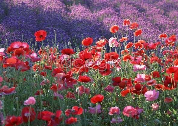 Thousand flower 84