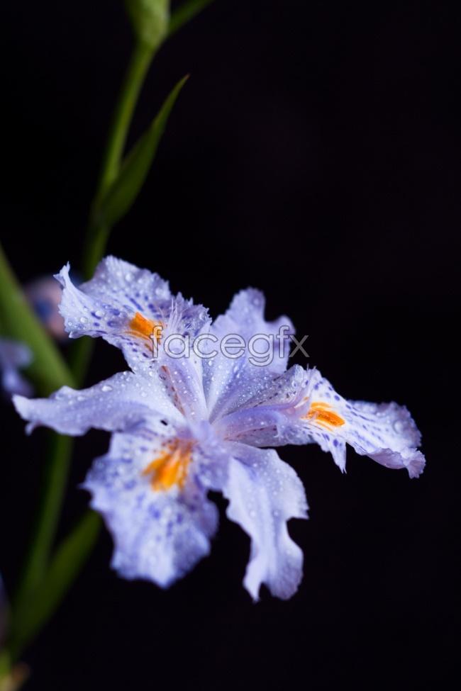 Black purple IRIS pictures