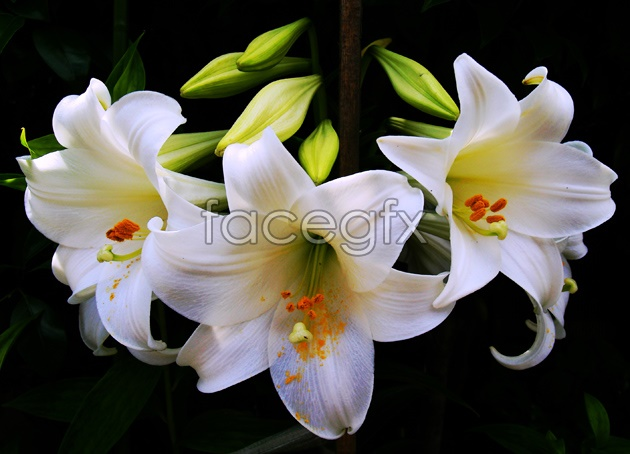 HD colorful Lily picture