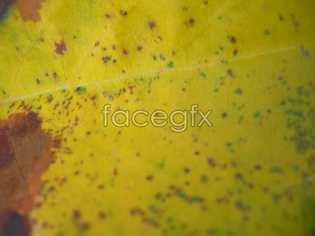 Yellow leaf picture