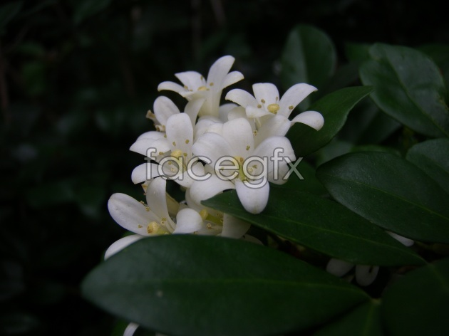 Osmanthus HD picture