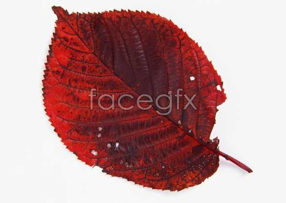 Red leaf pictures