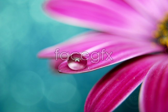 Red petal dew pictures