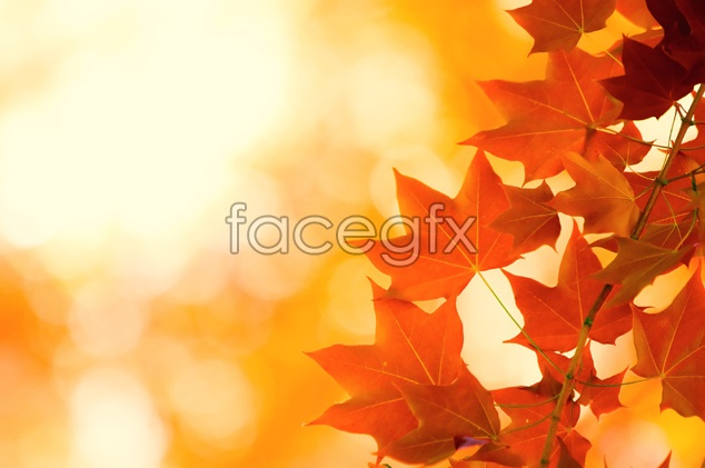 Autumn Maple Leaf Chinese Restaurant material picture