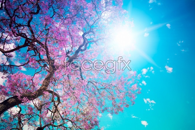 Beautiful cherry tree pictures