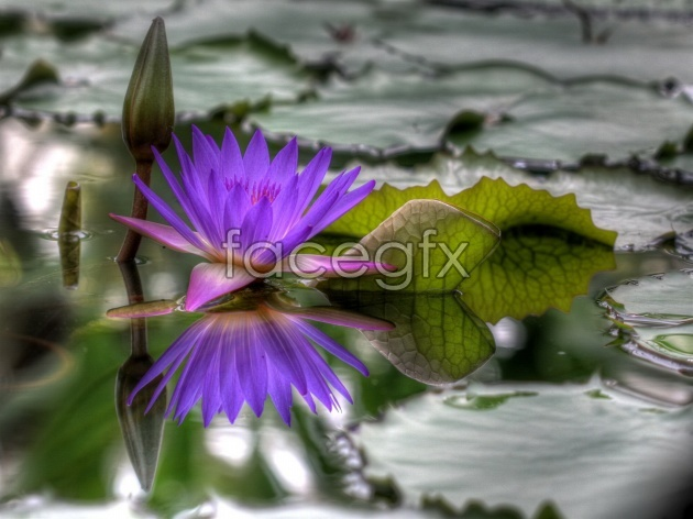 HD purple water lily pictures